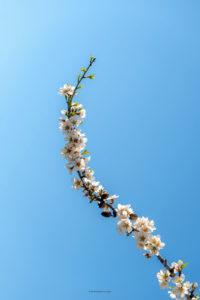 Alessia Scarso fotografa mandorlo in fiore