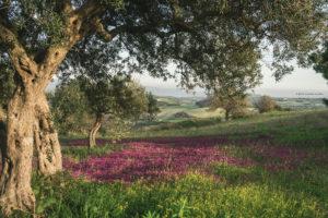 Alessia Scarso fotografa ulivo paesaggio iblei fiori