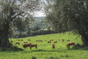 Alessia Scarso fotografa mucche razza modicana pascolo ulivi iblei