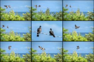 Alessia Scarso fotografa sequenza piccioni in amore tra gli alberi ripresi da un telescopio